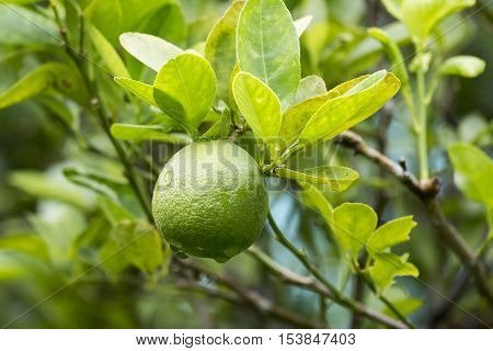 Fresh lemon fruit on tree in the morning.
