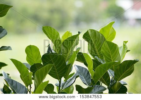 Jackfruit Green Leaves On The Natural  Background