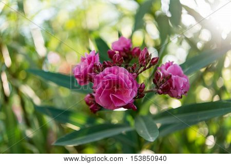 beautiful bouquet pink oleander flowers natural bouquet closeup