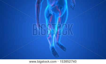3D Illustration of Human Skeleton with Nervous System