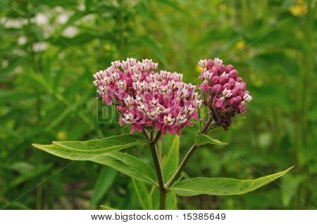 Swamp Milkweed Wildflower