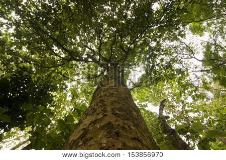 Looking up at green trees in Teak Rain forest