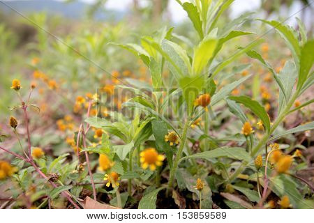 Small yellow wildflowers Natural Abstract background close up view