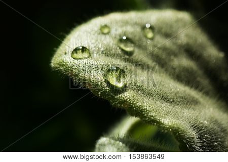 background of dew drops on bright green leaf. green leaf with dew drops closeup. Nature Background
