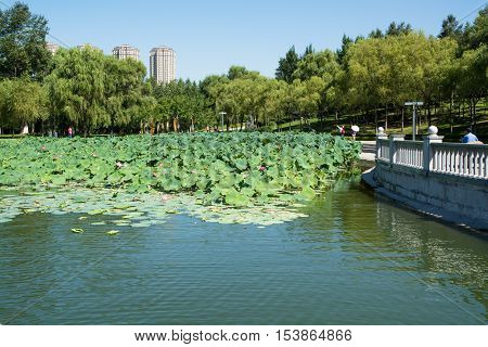 Pond which overgrown by lotos flowers. Public park in urban feature.