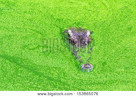 Alligator in a swamp with duckweed.It is camouflage