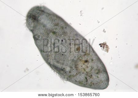 Microorganism moves in freshwater. Stentor or trumpet animalcules is filter-feeding heterotrophic protozoan ciliate