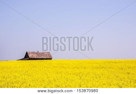 Canola crop farm field with barn on horizon