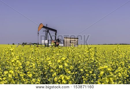 Oil well pumpjack in a farm field of canola