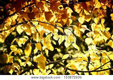 The yellowish and yellowish-brown leaves of the Siberian silver birch in autumn.