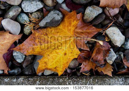 Sugar Maple Leaf On Rocks Next To A Curb