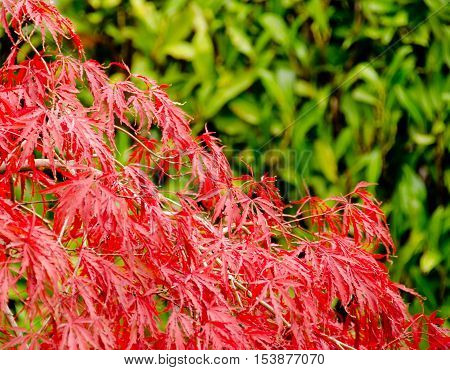Red Foliage Of Japanese Garden With Green Background