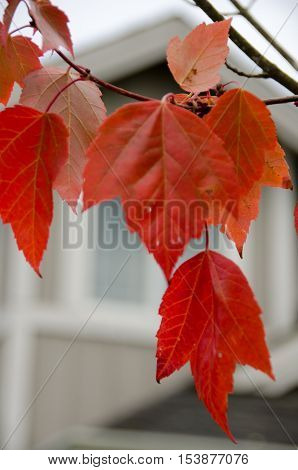 Red Maple Foliage Next To A Beige House