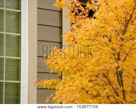 Large Japanese Maple With Yellow Foliage Next To A Tall Window