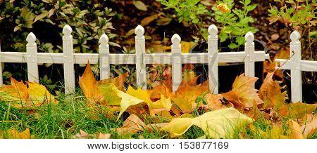 Sugar Maple Yellow Foliage And White Tiny Fence