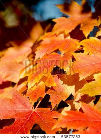 Heaps Of Sugar Maple Red And Yellow Leaves