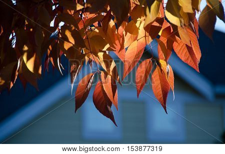 Ash Foliage In Red Colors