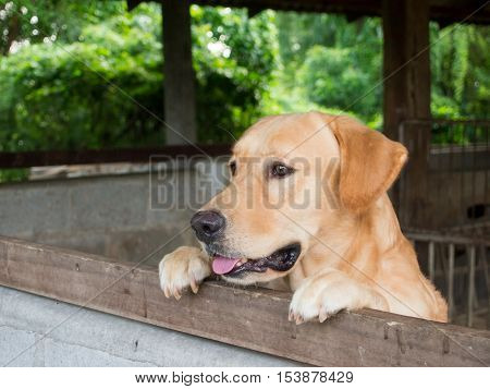Brown dog stood and wait behind the stall