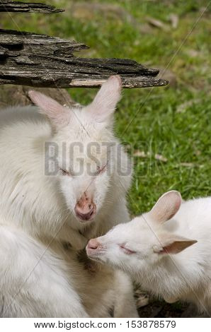 the white albino kangaroo is resting on the grass with her joey
