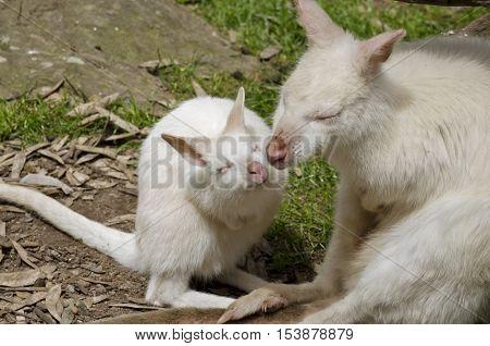 the mother albino kangaroo is kissing her joey