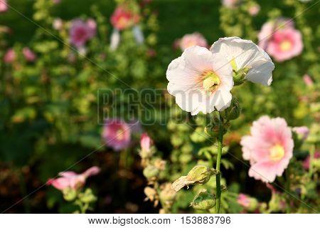 Pink Hollyhock in the flower garden background