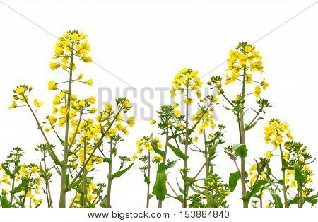 Yellow rape in a white isolated background.