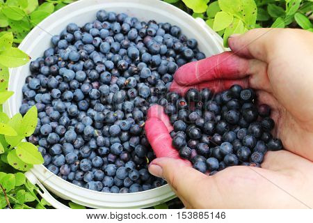Fresh berry blueberries in the hands of the girls on the background of green leaves in the forest.