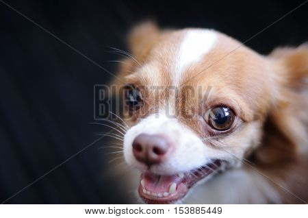 Cute chihuahua portrait with blur back background
