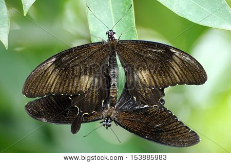 Butterflies be reproductive in park on green leaf