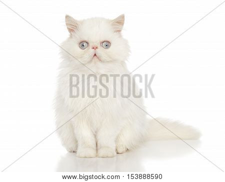 Persian cat sits on a white background