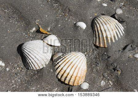 Shells in the beach of Plerin Bretagne France