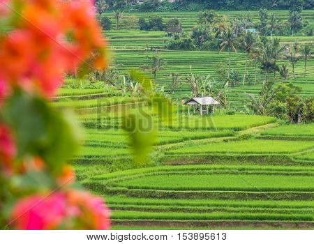 Rice Terraces banana trees and coconut palms on a rainy day in Jatiluwih in Bali, Indonesia, with bougainvillea flowers in the foreground.