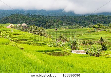 Rice Terraces coconut palms and banana trees on a rainy day in Jatiluwih in Central Bali, Indonesia.