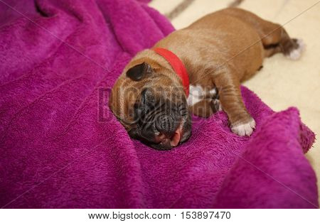 Dogue De Bordeaux One Day Old Puppies