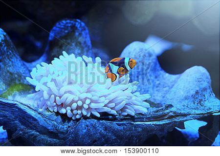 A little clownfish (anemonefish) swimming over a white coral