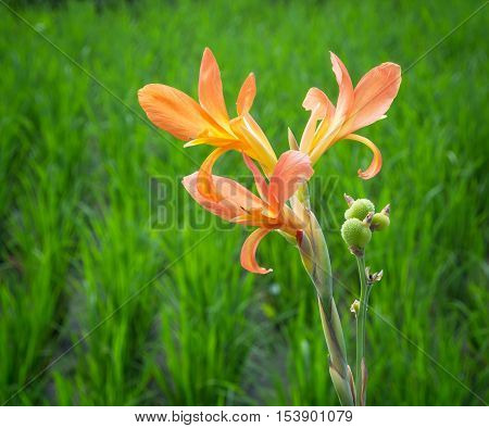 A delicate orange flower growing in a rice paddy in Ubud in Central Bali, Indonesia.