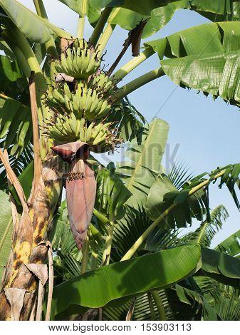 Banana flowers and Banana hanging on a banana tree