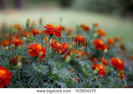 Red carnations flowers. Colorful flowers. Green background.