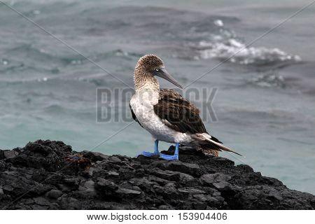 Blue footed booby, sula nebouxii, Galapagos Ecuador
