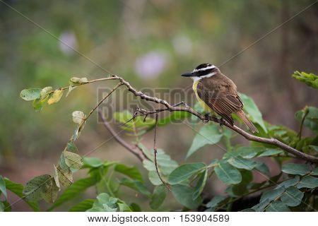 Lesser Kiskadee Perched On Branch Facing Left