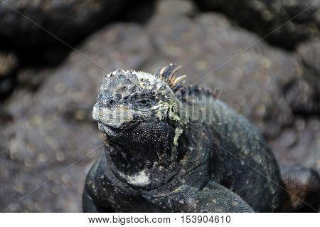 A Galapagos Marine Iguana on lava rocks, amblyrhynchus cristatus