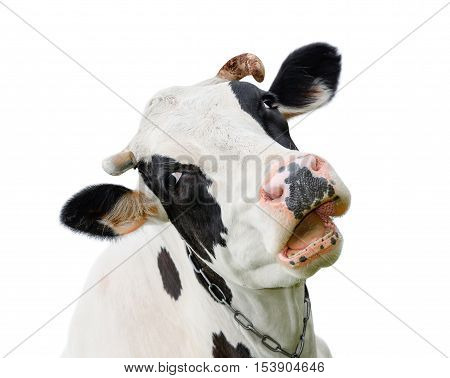 Funny cute cow isolated on white. Talking  black and white cow. Funny curious cow.  Farm animals. Pet cow on white.