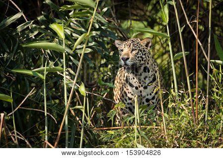 Jaguar Standing Staring Through Undergrowth In Sunshine