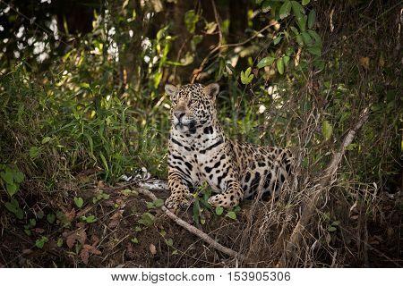 Jaguar Lying Down In Undergrowth Looks Left