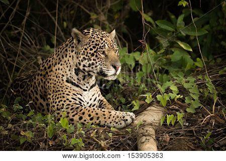 Jaguar Lying By Log In Dense Undergrowth