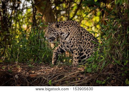 Jaguar Gets Up To Walk Through Undergrowth
