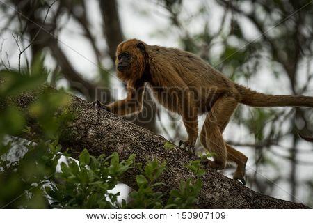 Black Howler Monkey Walking Up Tree Branch
