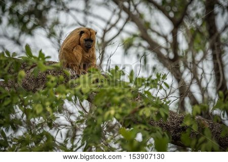 Black Howler Monkey Sitting On Tree Branch