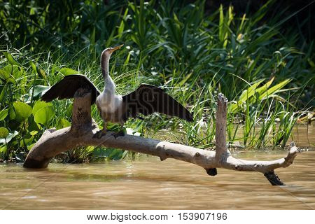 Anhinga Stretching Wings On Log In River