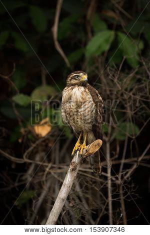 Roadside Hawk On Dead Branch Looking Right